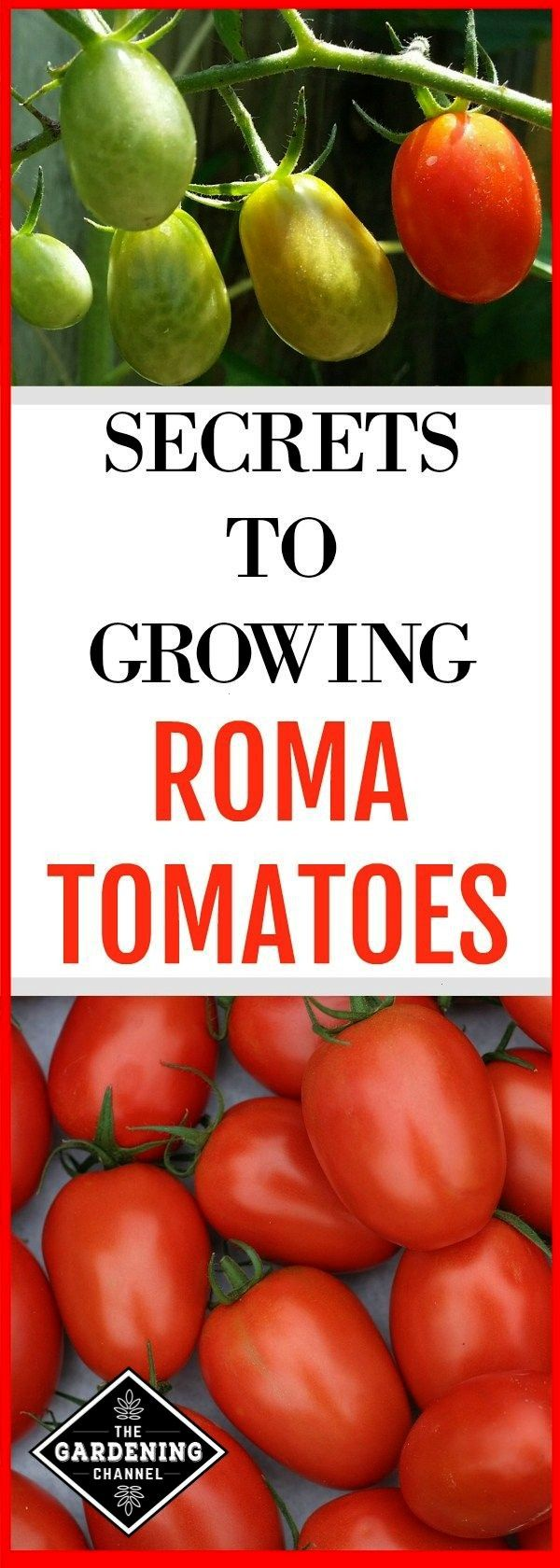 tomatoes growing in the garden and roma tomato harvest with text overlay secrets to growing roma tomatoesroma tomatoes growing in the garden and roma tomato harvest with...