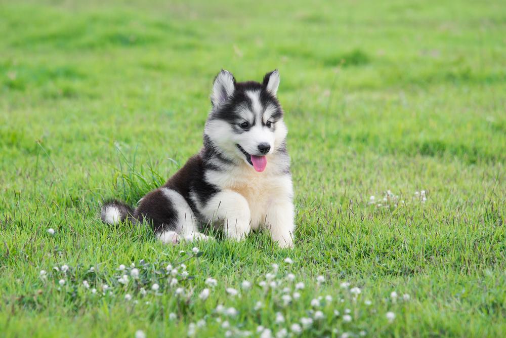 White Husky German Shepherd Mix Info Cute Animals Puppies Cute Husky Puppies Cute Puppy Videos