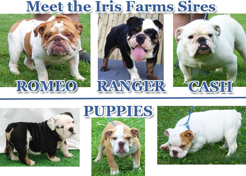 I Am In Love With Ranger He Is Perfect Bulldog Puppies English Bulldog Puppies Puppies