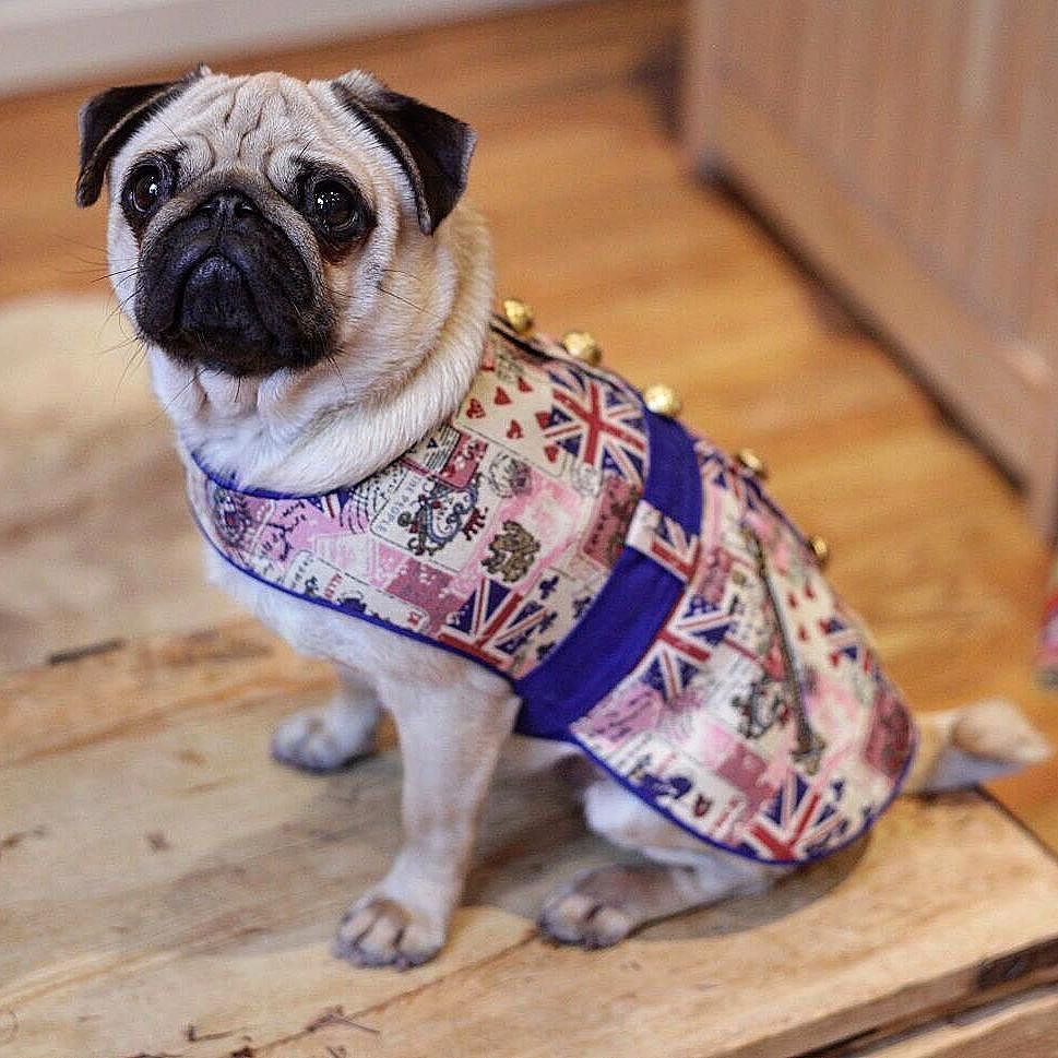 """So happy to have completed our most recent photoshoot with the adorable Eliz pug! Here we have """"Patriot"""" which is hand-crafted for your doggy pleasure! Please check out our webpage with all new jumpers and garments to follow shortly! #pug #puglove  Check out our webpage to see our current doggy clothing collection (link in bio). Full doggy clothing line coming soon!  #doggydoolittle #dogclothes #puppyclothes #dog #dogs #dogsofinstagram #pooch #pooches #puppy #puppylove #dogstagram #poodles…"""
