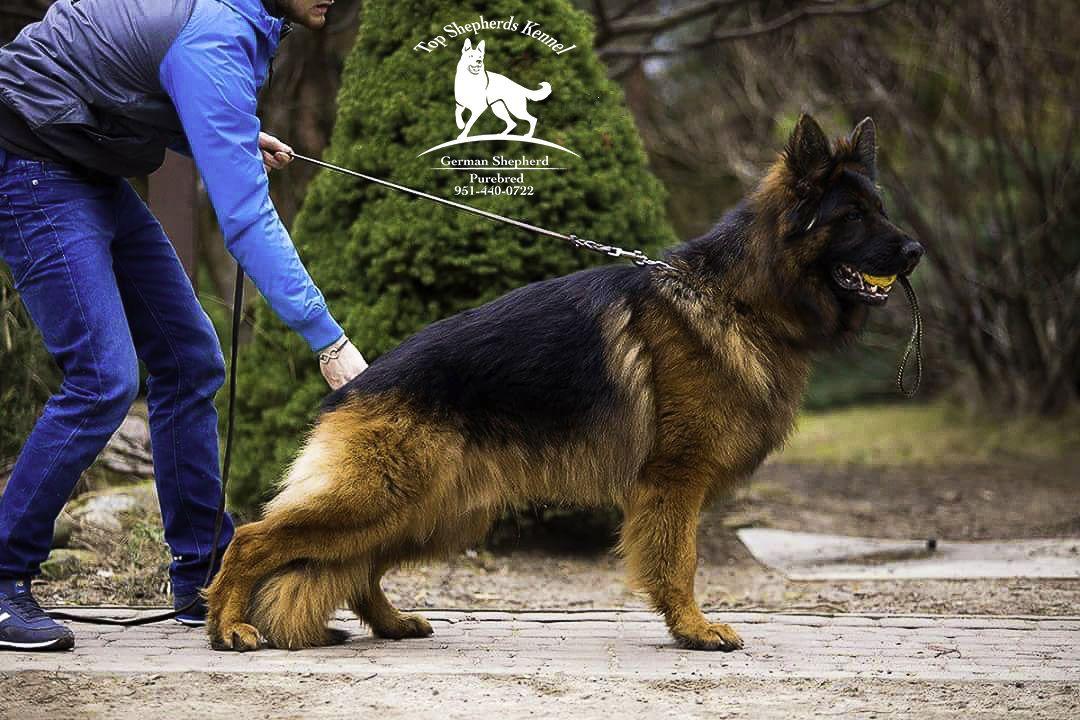 This Stud German Shepherd Ober Della Real Favorita Located At Top