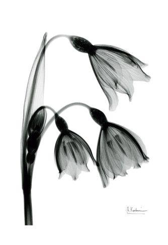 Snow Drop In Black And White Posters Albert Koetsier Allposters Com Xray Flower Green Framed Art Green Art Print