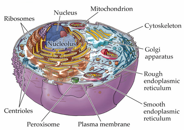 the o 39 jays google and search on pinterest : cell organelles diagram - findchart.co