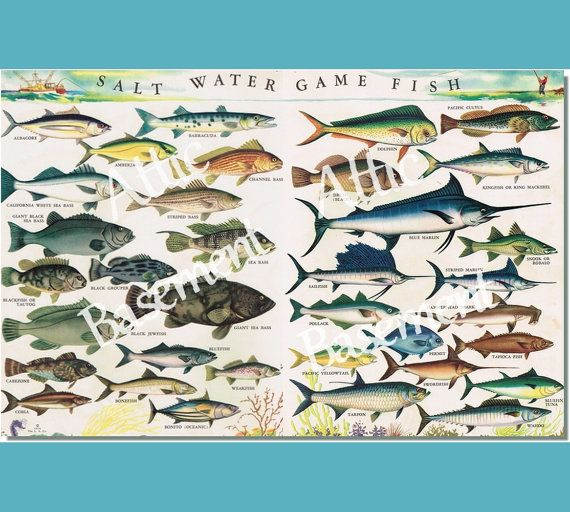 Saltwater game fish images galleries for Georgia game and fish