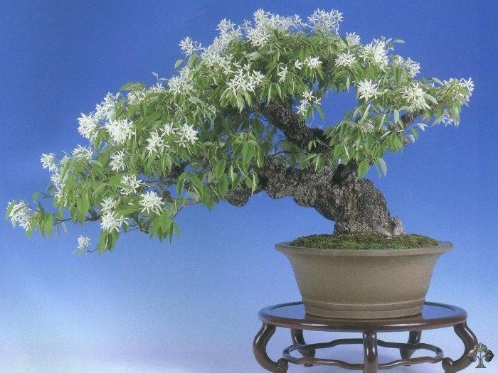 Magnolia Stellata Bonsai Flowering Bonsai Tree Bonsai Magnolia