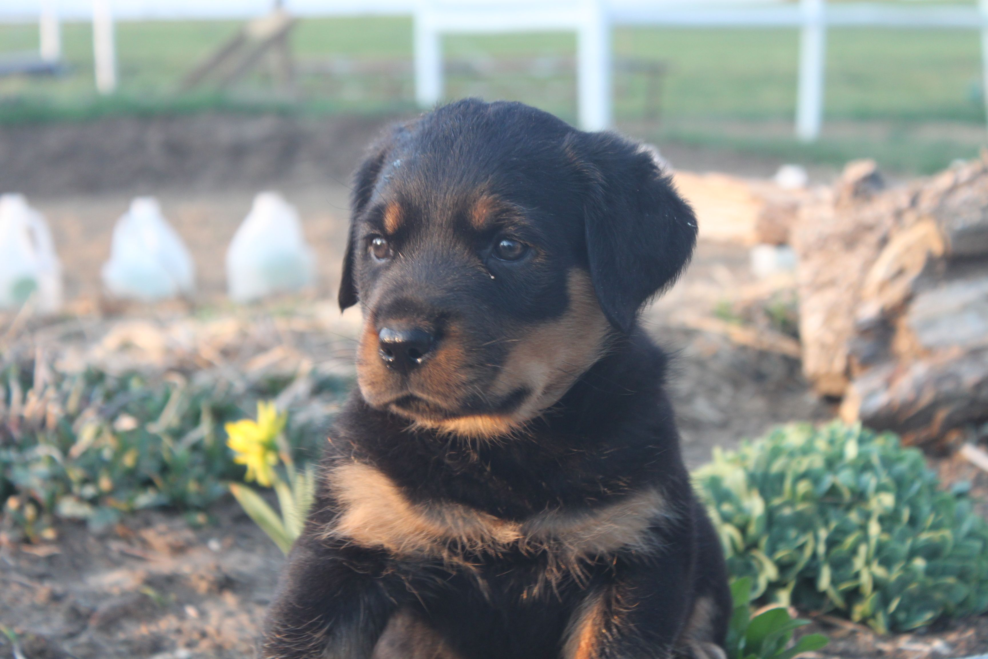 Pin By Cindy On Germany Sharper Best Dogs Ever Rottweiler