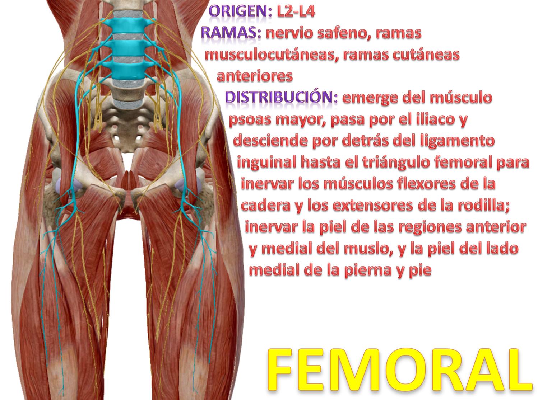 Hermosa Los Músculos Flexores De La Cadera Ideas - Imágenes de ...
