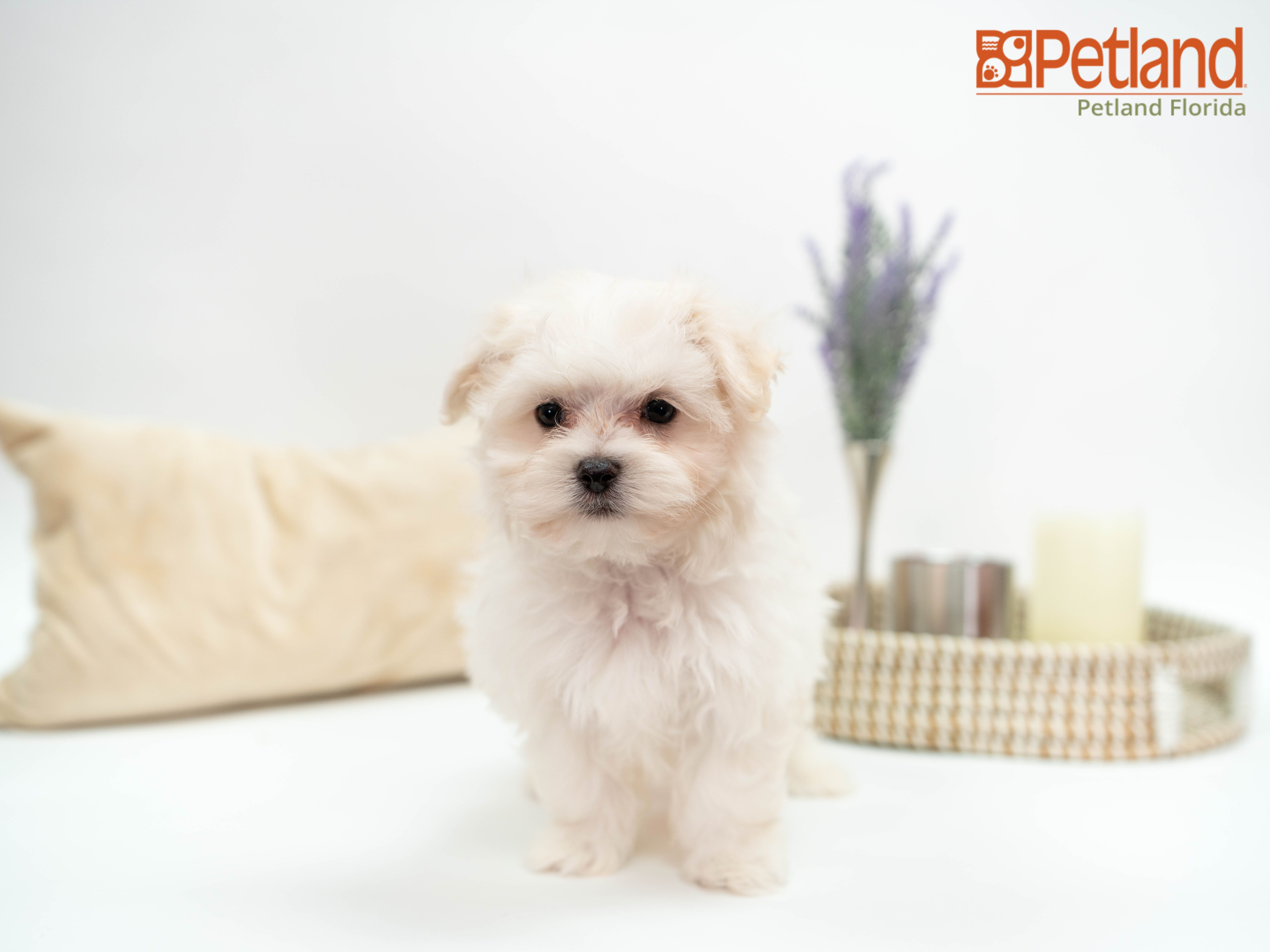 Petland florida has maltese puppies for sale check out