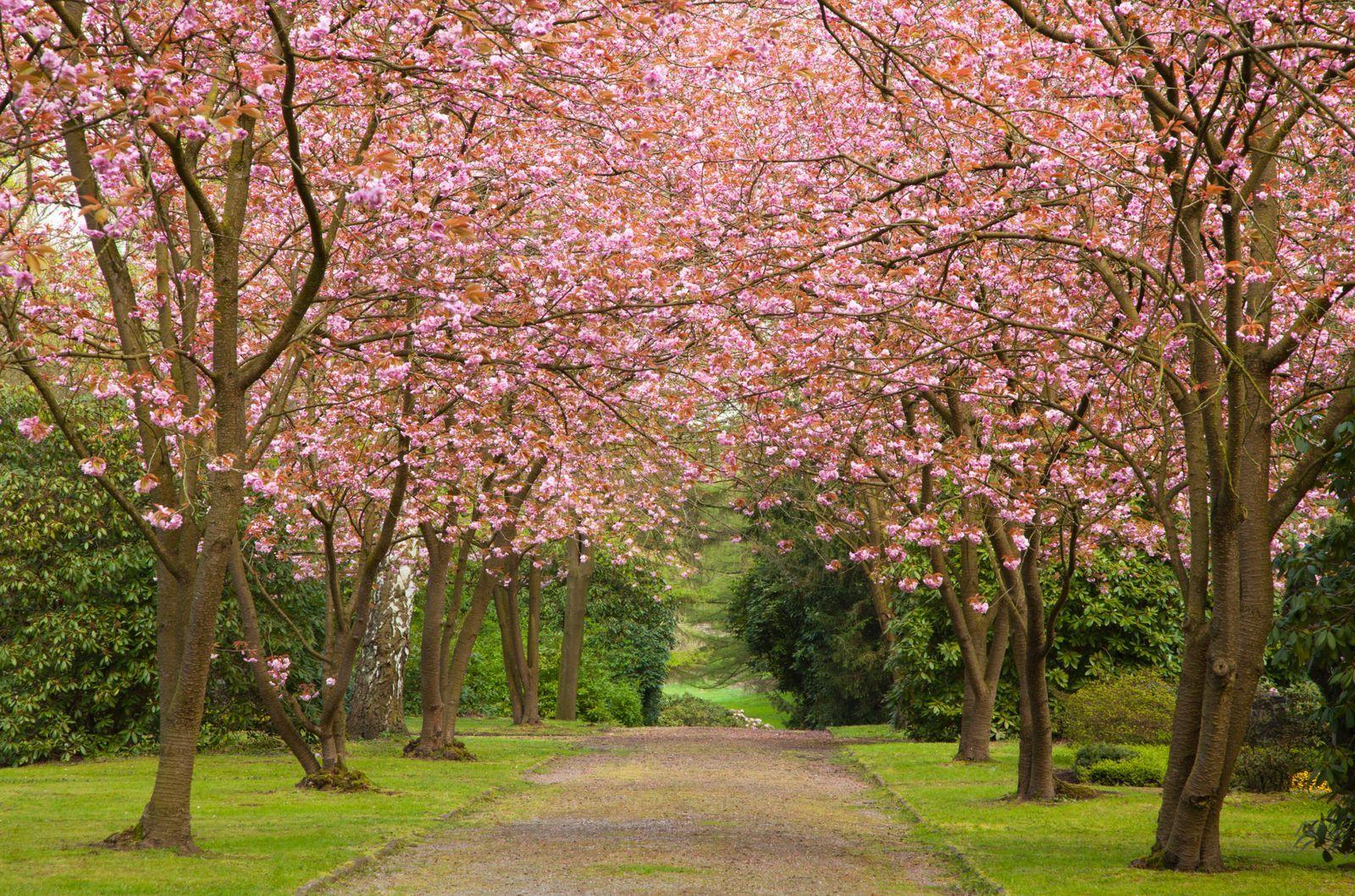 Cherry Blossom Tree Facts That You Definitely Never Knew Before Cherry Blossom Tree Cherry Blossom Cherry Tree