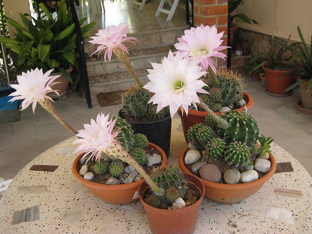 Im genes de macetas con trencadi buscar con google for Cactus cuidados exterior