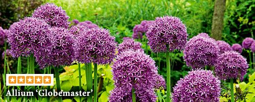 I Love Allium And Will Try Planting Bulbs In Containers 3 Bulbs For 27 Via Whiteflower Farm White Flower Farm Allium Garden Allium Flowers