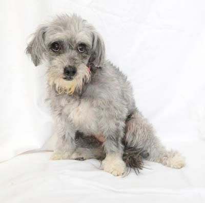 Adopt Lucy On Poodle Mix Dogs Dogs Puppies Dogs