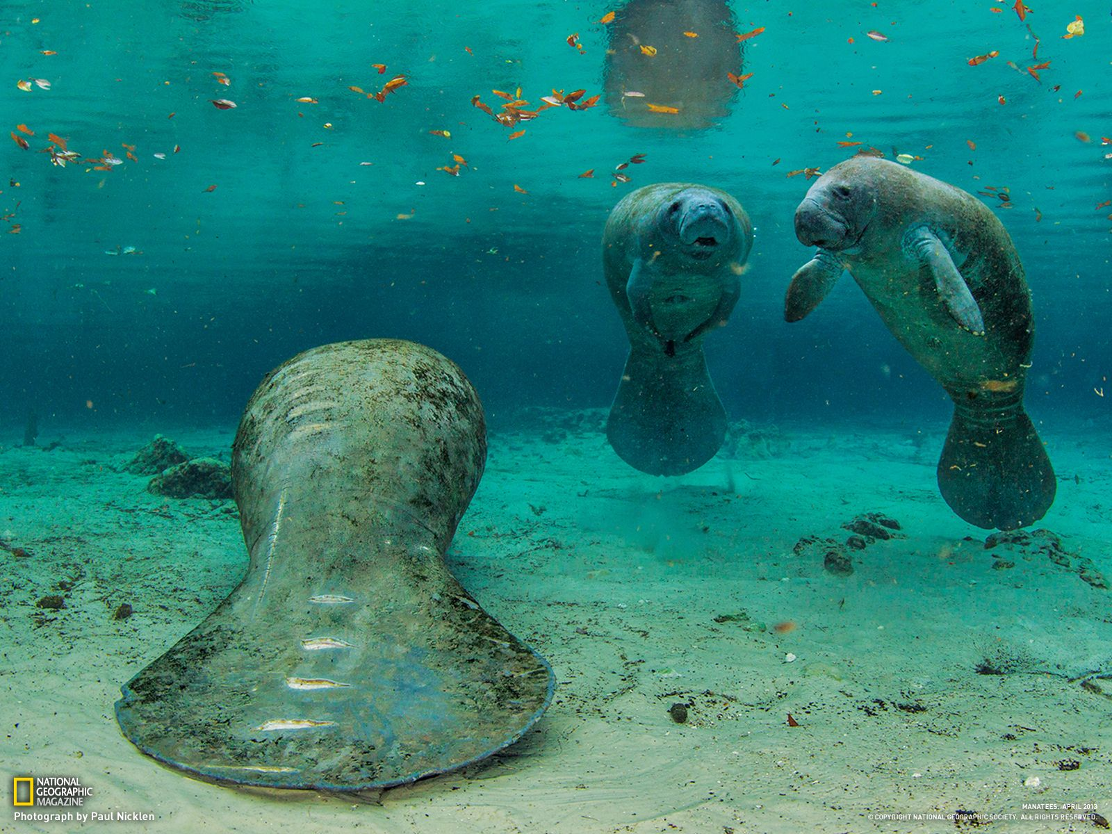 Crystal River Florida Is In The April Edition Of National Geographic Photo By Mel White Http Ngm Nationalgeographic Com 20 Manatee Manatee Florida Animals