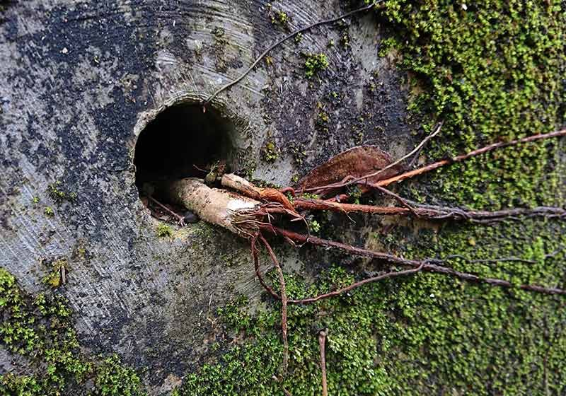 If a tree root invasion is found in the very beginning
