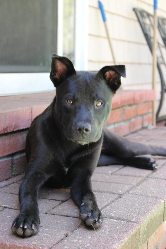 Adopt Natalie on Labrador retriever, Labrador retriever