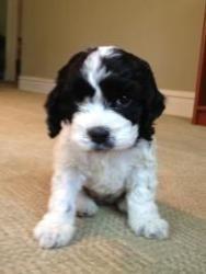 Raisin is an adoptable Cocker Spaniel Dog in Chicago, IL.  ...
