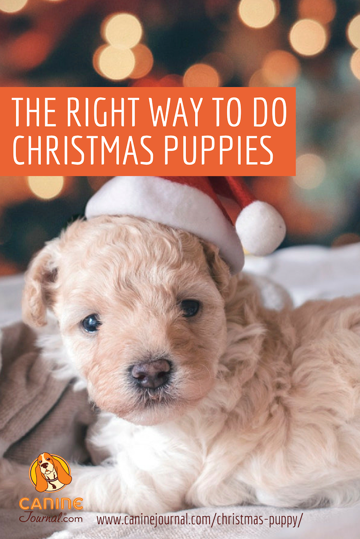 A Puppy For Christmas.Is A Christmas Puppy A Good Idea Christmas Dog