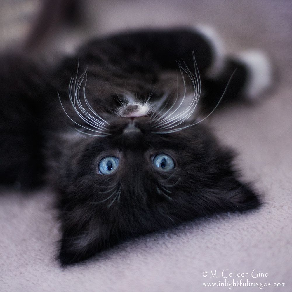 Cool Concept Of Fluffy Black Kitten With Blue Eyes Funny Cat Animals And Pets Tuxedo Kitten Fluffy Kittens Puppies Kitties