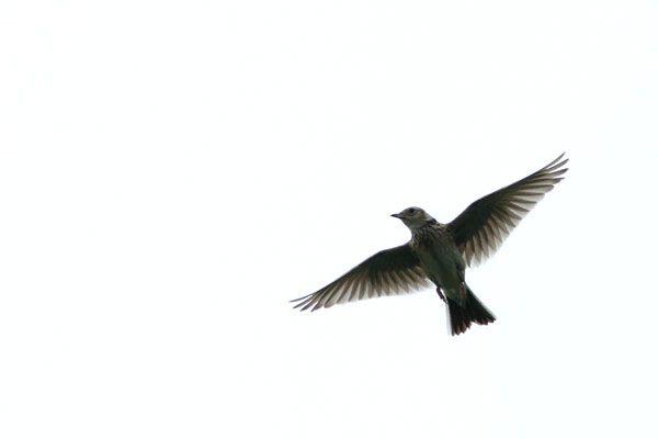 Image result for skylarks ascending Pinterest