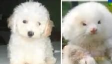 Man Gets Shock Of His Life When He Buys Two Toy Poodles Only To