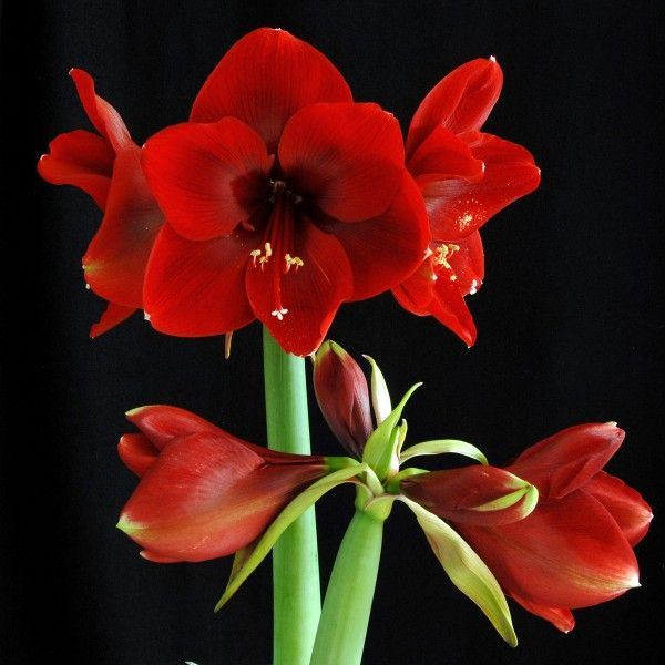 Amaryllis Magnum In 2020 Red Amaryllis Amaryllis Amaryllis Flowers