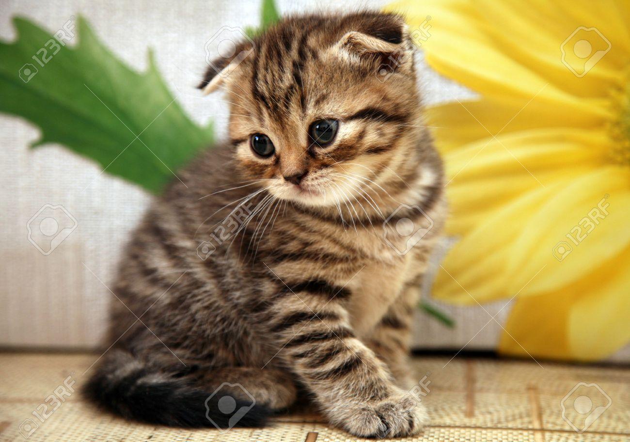 Striped Scottish Fold Kitten On Flower Background Scottish Fold Kittens Fluffy Cat Breeds Cat Scottish Fold
