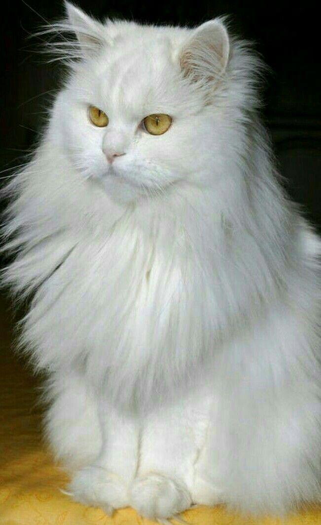 Pin By Vivian Wild On Cute Animal Pics Beautiful Cats Persian Cat White Pretty Cats