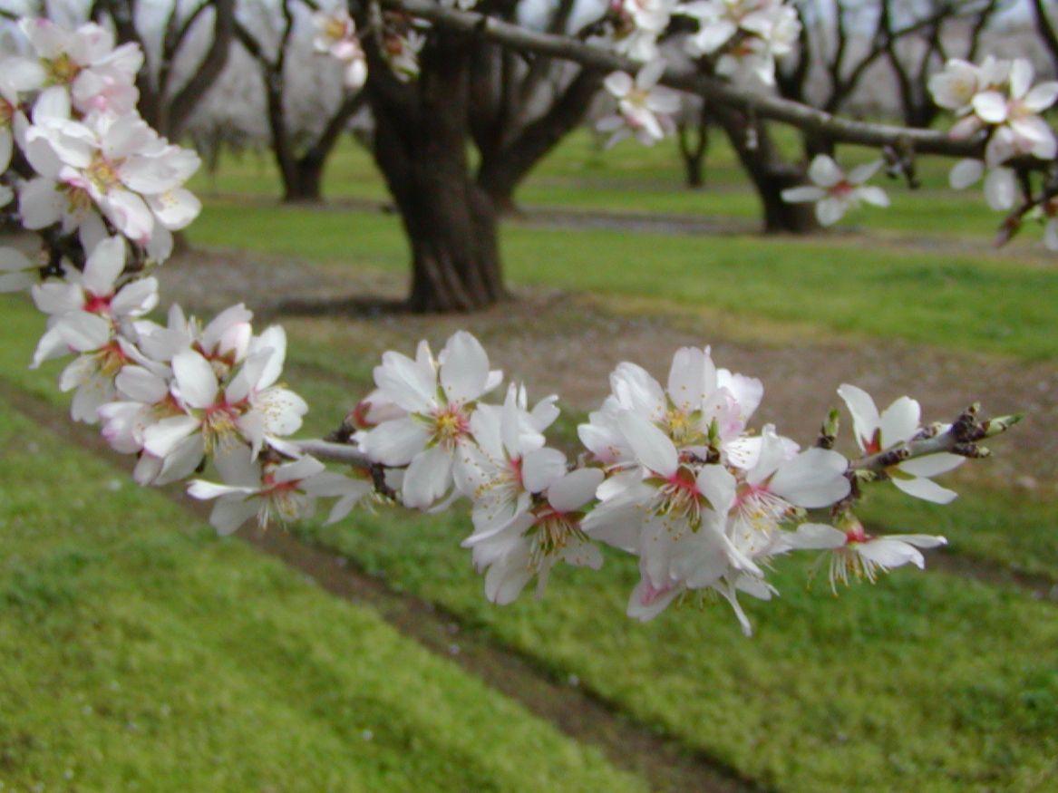 Almond+Blossom3.JPG 1,167×875 pixels Almond flower