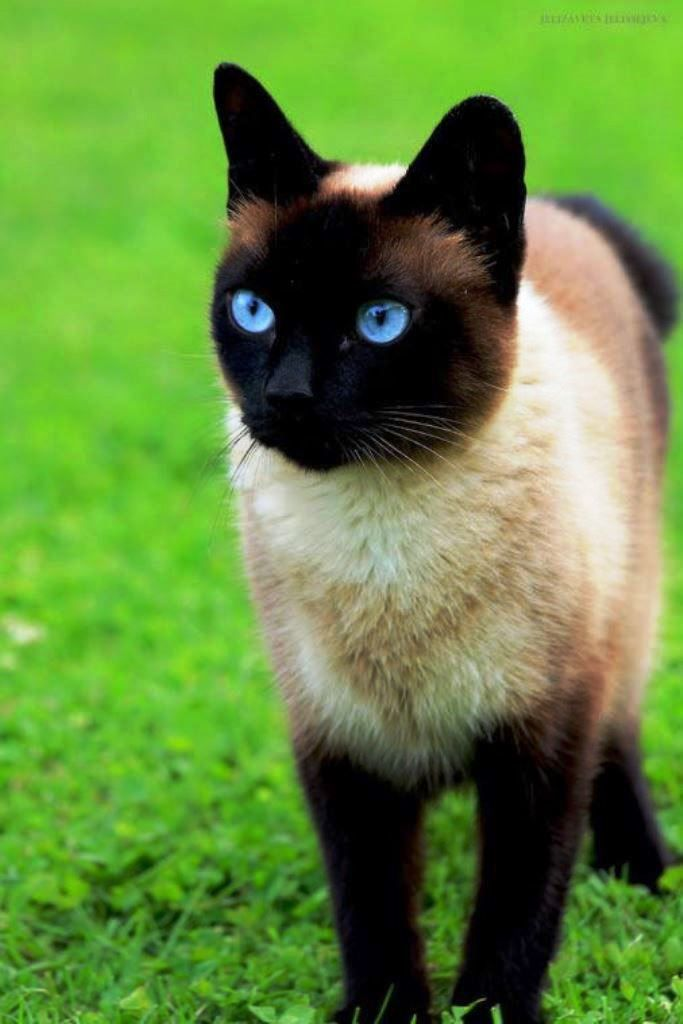 Kara Kedi Cute Cat Breeds Pretty Cats Siamese Cats