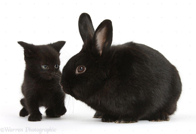 Pets Black Kitten 7 Weeks Old And Black Rabbit Photo Black Kitten Kitten Rabbit Photos