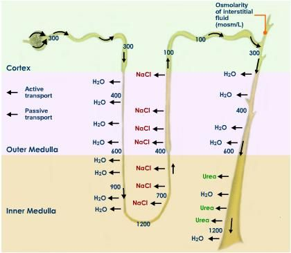 Nephron function reabsorption in nephron ems pinterest nephron function reabsorption in nephron ccuart Choice Image