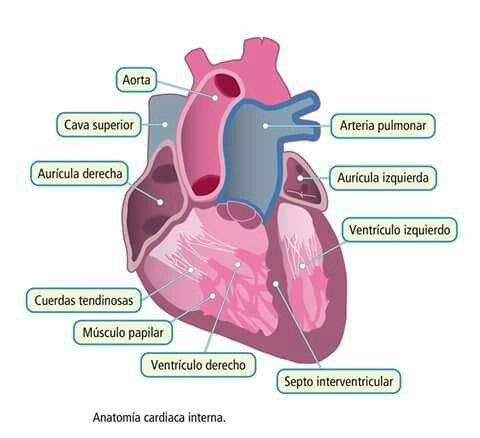 Partes del corazón | Cuerpo humano | Pinterest | El corazon, Cuerpo ...