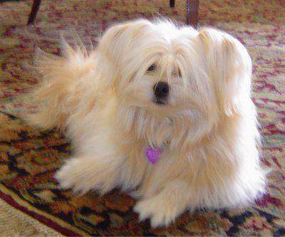 Gizmo The Shiranian Pom Shih Tzu Hybrid At 1 Year Old Dog