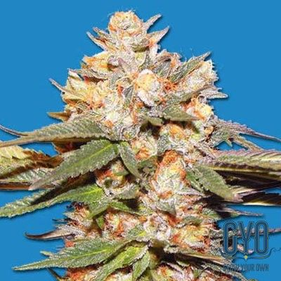 Bomb Seeds Big Bomb Auto Feminised Weed Seeds: This isn't your average autoflowering strain, it's a true all-rounder! Offering both experienced and beginner growers the opportunity to grow big, potent buds quickly and effortlessly, Big Bomb Auto takes autoflowering yields to the next level.