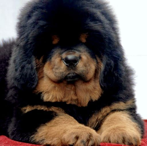 Tibetan Mastiff Tibetan Mastiff In Punjab 09592361465 Youtube