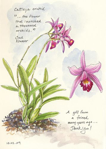 Cattleya Orchid Via Flickr Botanical Orchids Orchids Botanical Drawings