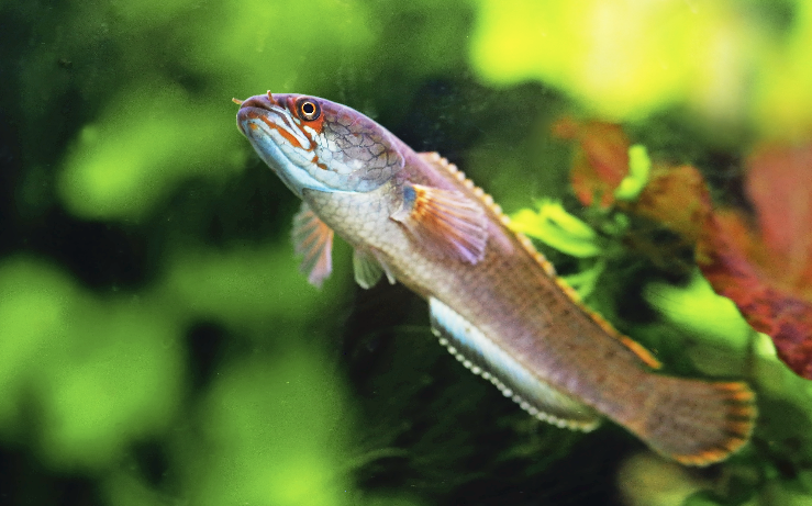 Channa Sp Fire Ice Tropical Fish Snakehead Fish Fish Pet