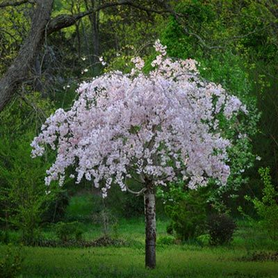 White Weeping Cherry Tree Weeping Cherry Tree Small Trees Trees For Front Yard
