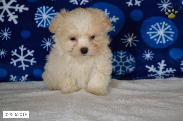 Maltipoo Puppy for Sale in Ohio http//www.buckeyepuppies