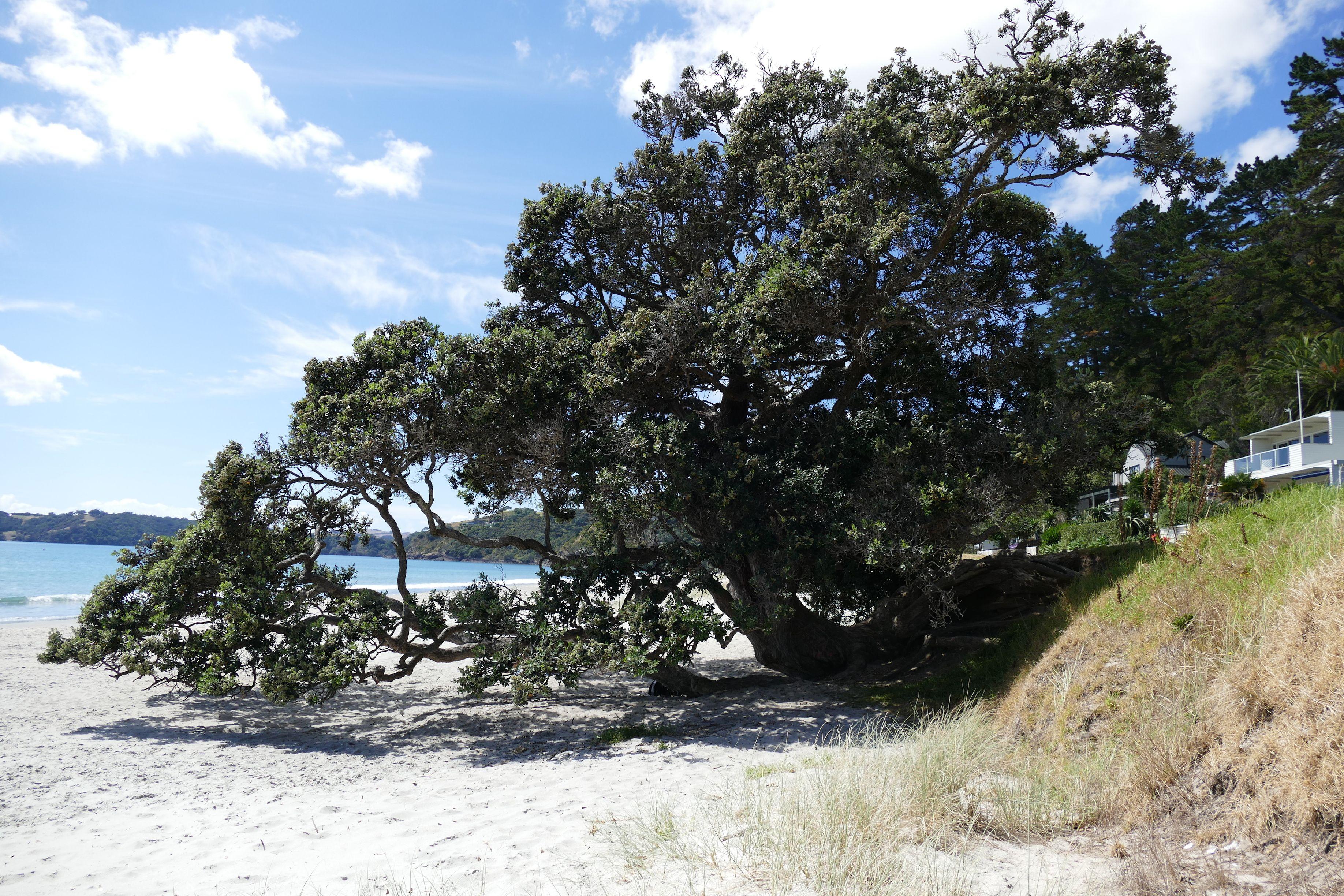 Shade tree on the beach, Waiheke Island Waiheke island