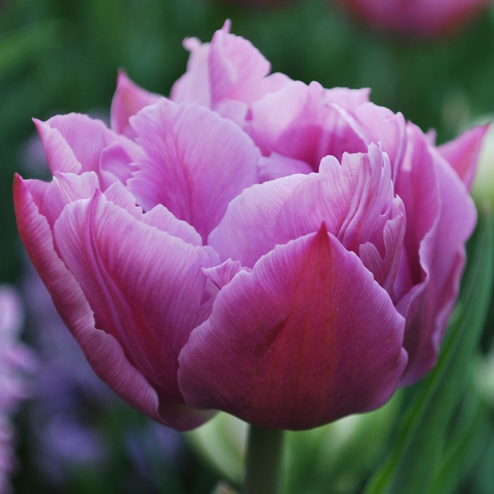 Tulipa Double Price Rose Cottage Plants Bulb Flowers Tulip Seeds Tulips Flowers