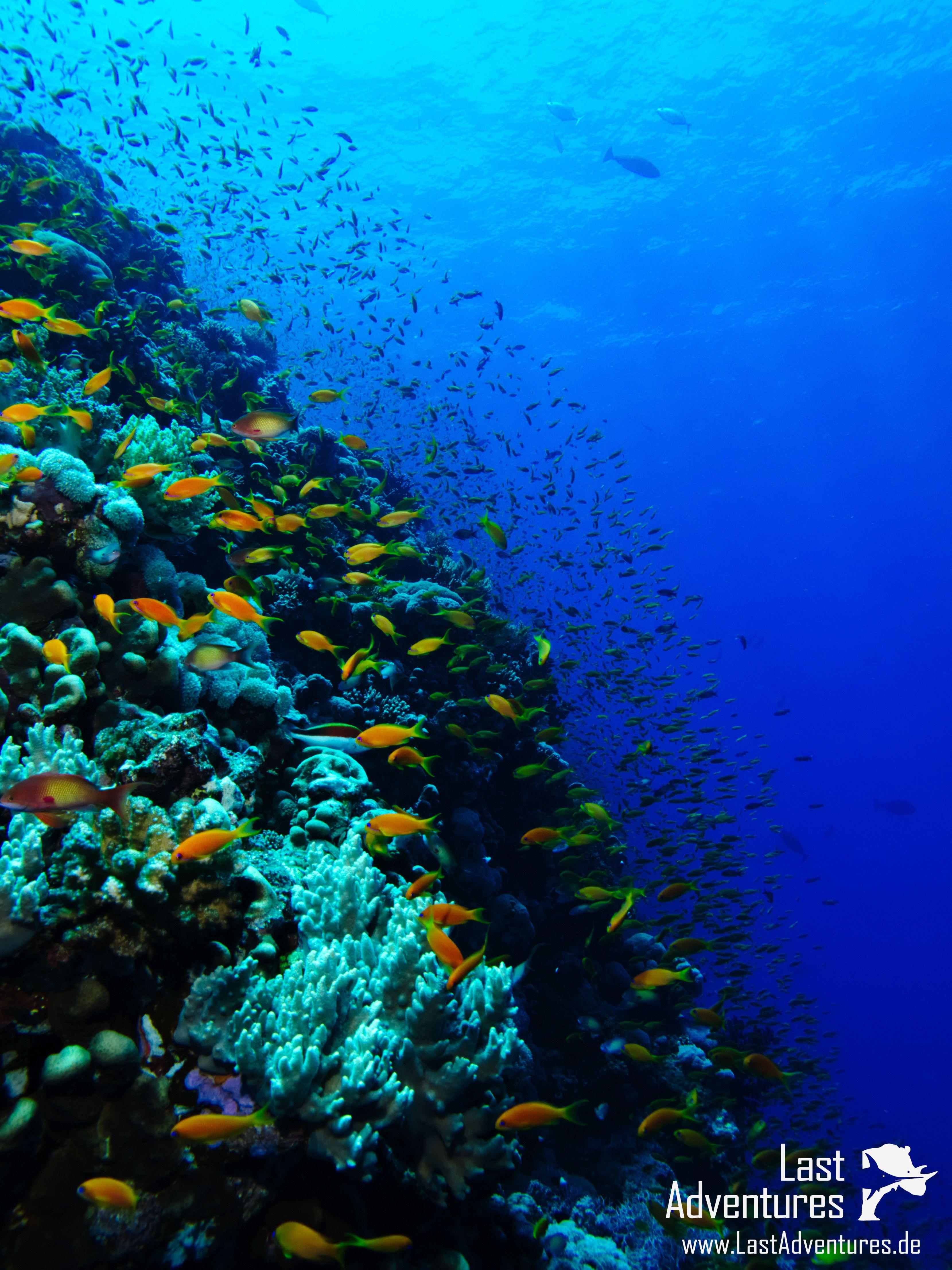 Riff Elphinstone fotografiert in Ägypten #Elphinstone #fisch #fish ...