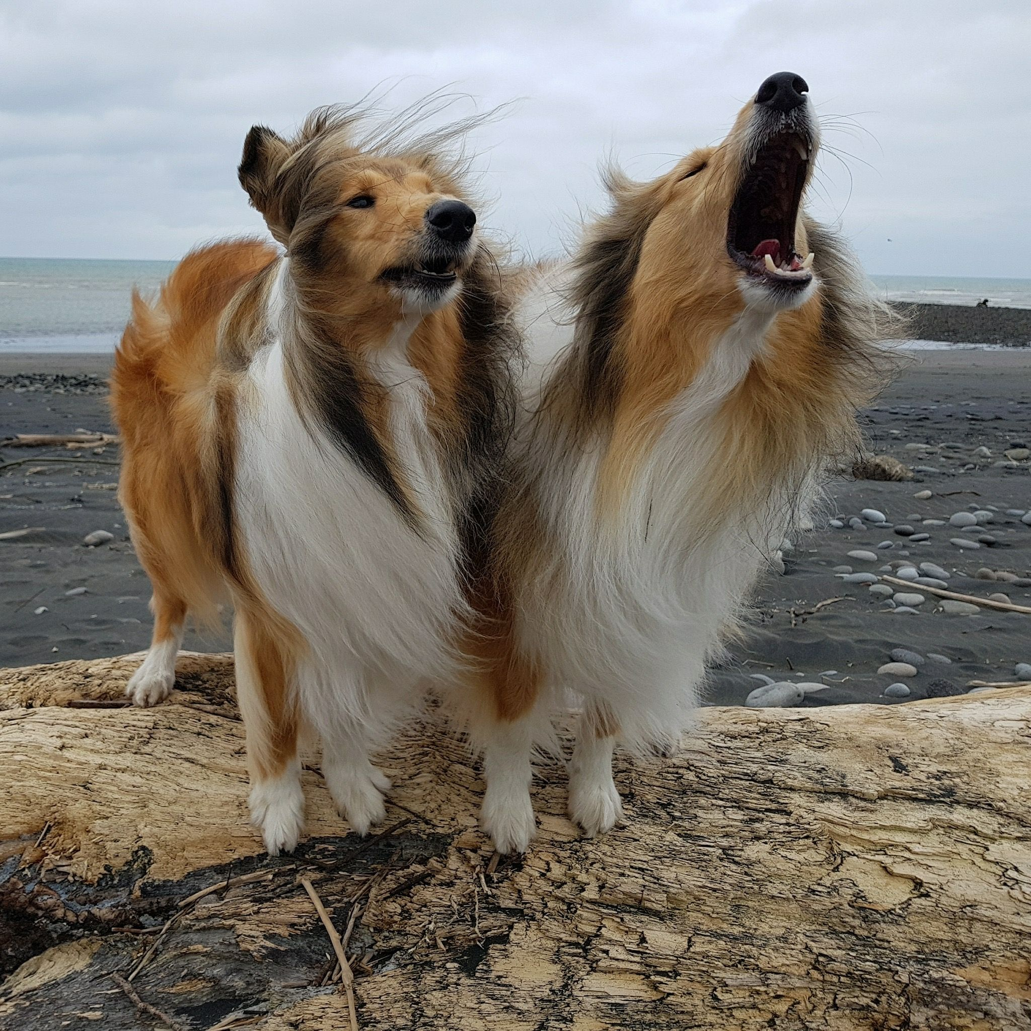 Collies... Love these pups!
