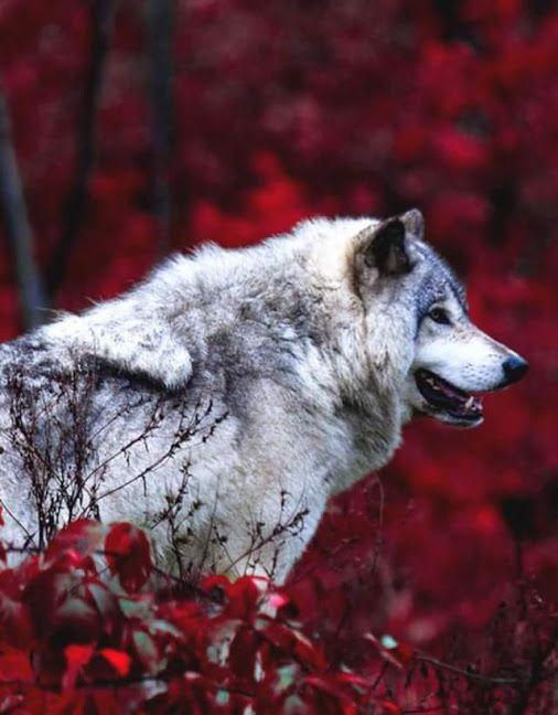 Pin de Fidgy en = Amour des Loups **   Pinterest