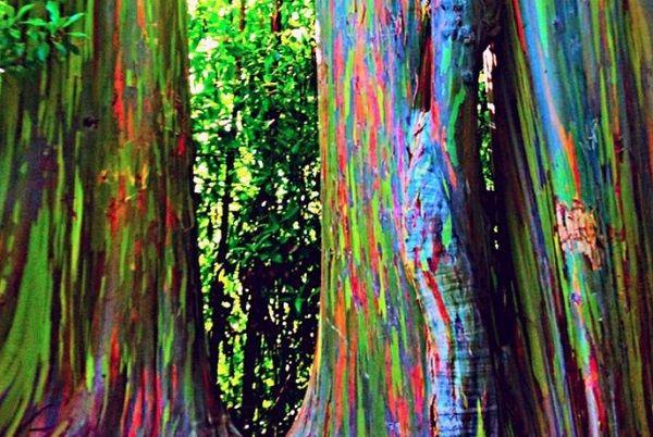 Rainbow Eucalyptus Forest, Maui - Attualissimo.it Scienza