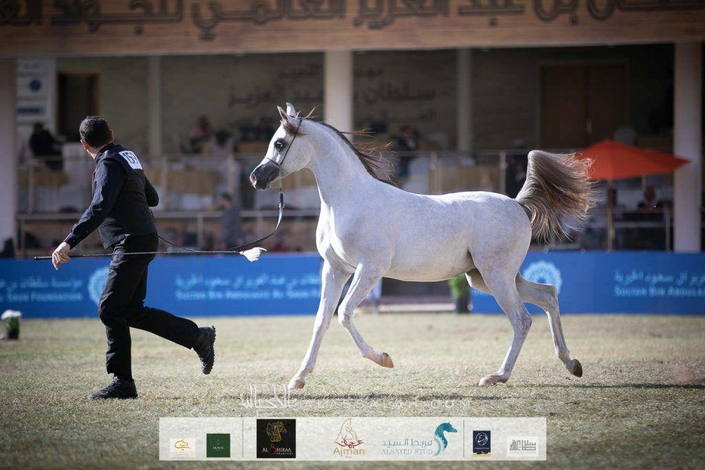 النتائج النهائية بالصور لبطولة الأمير سلطان بن عبدالعزيز العالمية 2020 للجواد العربي Arabian Horse Horses Animals