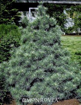 Blue Form Eastern White Pine Pinus Strobus Monwell A
