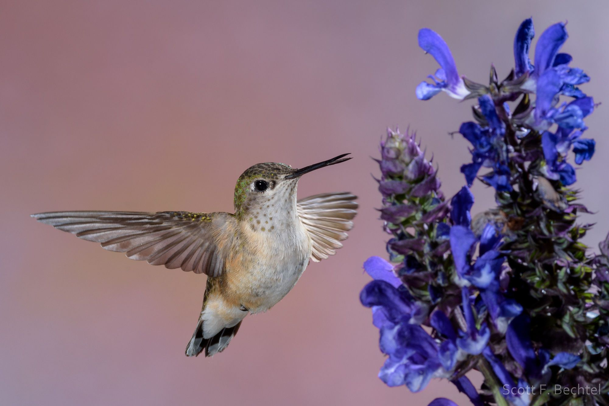 A Female Calliope Hummingbird Taken At The Bull River Guest Ranch During The 2016 Gerlach Nature Photography Hummingbird Workshop This Image Was Fotos Bosque