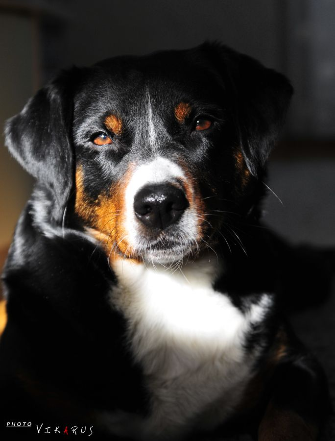 Zlata In The Light By Vikarus On Deviantart Entlebucher Mountain