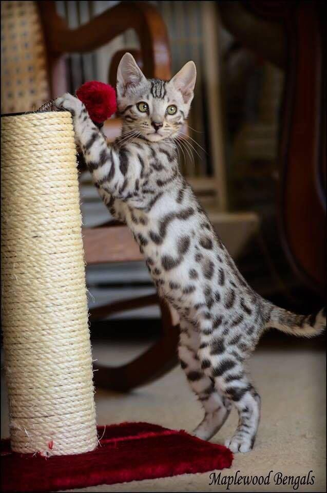 Pin By K K On Pretty Kitties Gorgeous Cats Bengal Cat Pretty Cats